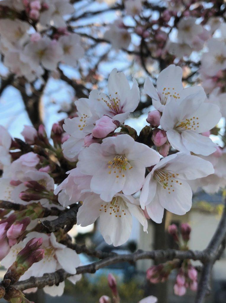 18-010 写真 桜